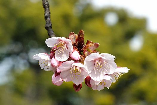 zaki-20130222-kanzakura.jpg